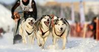 Под Омском состоятся гонки на собачьих упряжках каюров Сибири, Алтая и Урала