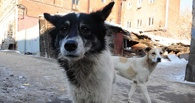 Омские депутаты запретили отлавливать бродячих собак днем