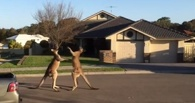 Битва под Чайковского: два кенгуру устроили поединок на улице в Австралии
