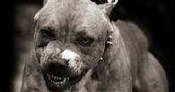 На жительницу Омска напал стаффордширский терьер, искусал её и её старого пса