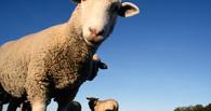 Полицейские двух районов Омской области искали заблудших овец