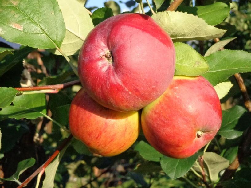 Жители Омска считают, что символом города должна стать яблоня