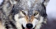 Таджикские наркоторговцы посадили волка охранять героин