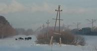 Омичи переживают из-за коров, гуляющих по городу в морозы