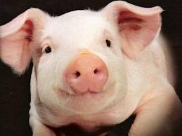 Прокуратура не поняла директора «Омского бекона», пытавшегося спасти свиней