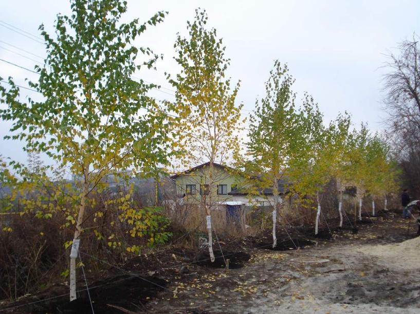 На Левобережье в Омске высадили больше 1600 молодых деревьев