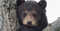 Под Омском нашли труп медвежонка без лап