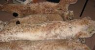 В Омской области браконьер застрелил четыре рыси
