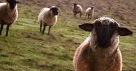 В Омской области полицейские с собакой искали сбежавшую отару овец
