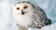 В Омской области егерь спас от браконьеров белую сову
