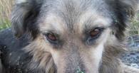 В Омске раненного пса едва не съели мухи
